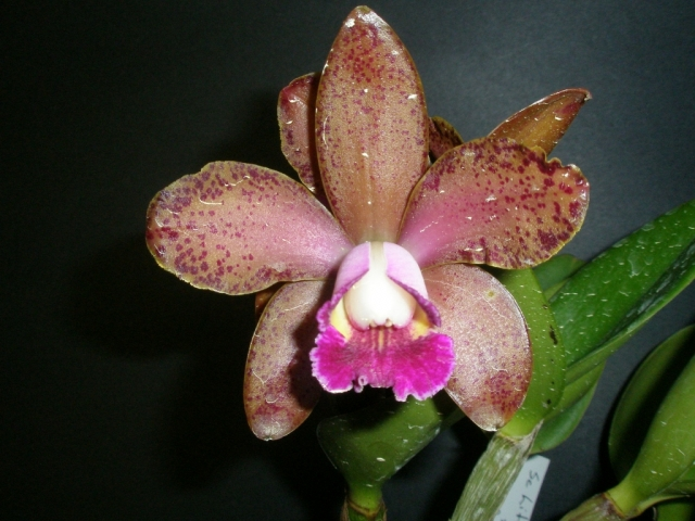 Rhyncholaeliocattleya (C. Little Rascal x Rlc. Waianae Leopard)